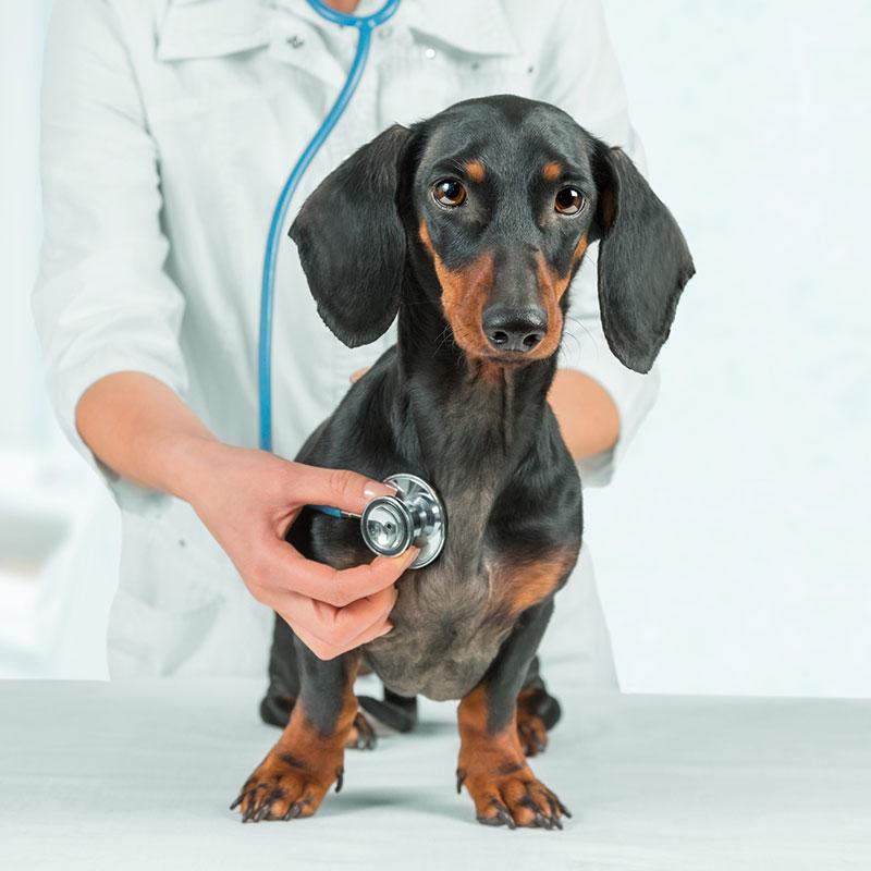 Dog on Ultrasound Balgownie Vet Hospital