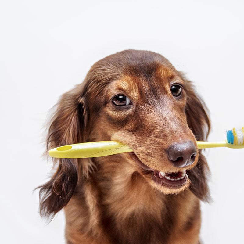 Dog Dental Balgownie Vet